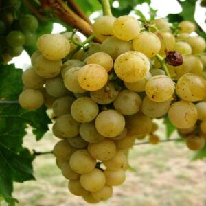 'Vroege van der Laan' – Fehér szőlő