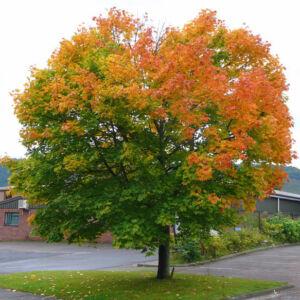 Acer platanoides – Korai juhar (szabadgyökerű)