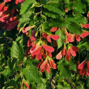 Acer tataricum – Tatár juhar (szabadgyökerű)