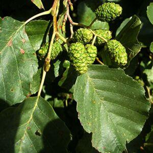 Alnus glutinosa – Enyves éger (szabadgyökerű)