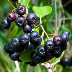 Aronia melanocarpa – Fekete berkenye (szabadgyökerű)