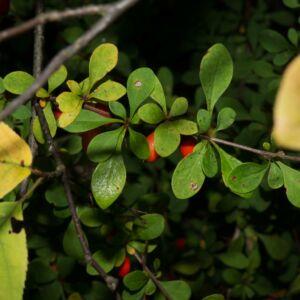 Berberis thunbergii – Japán borbolya (szabadgyökerű)