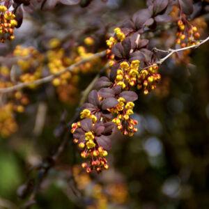 Berberis vulgaris 'Atropurpurea' – Vörös levelű közönséges borbolya (szabadgyökerű)