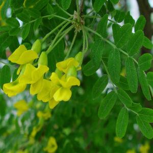 Caragana arborescens - Borsófa