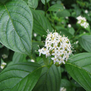 Cornus alba – Fehér som (szabadgyökerű)