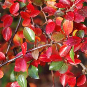 Cotoneaster divaricatus – Ragyogólevelű madárbirs