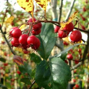 Crataegus prunifolia – Széles levelű galagonya (szabadgyökerű)