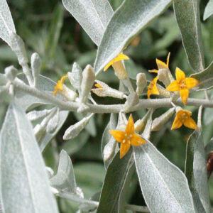 Elaeagnus angustifolia – Keskenylevelű ezüstfa (szabadgyökerű)