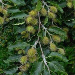 Fagus sylvatica – Közönséges bükk (szabadgyökerű)