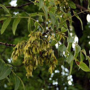 Fraxinus excelsior – Magas kőris (szabadgyökerű)