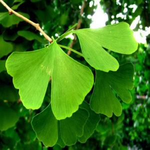 Ginkgo biloba – Páfrányfenyő (szabadgyökerű)
