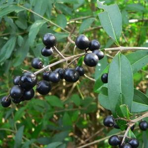 Ligustrum vulgare – Közönséges fagyal (szabadgyökerű)