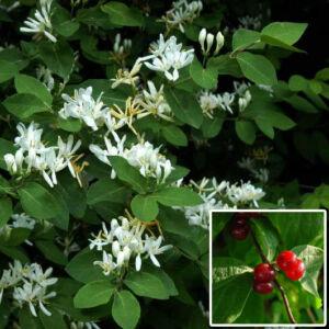 Lonicera xylosteum – Ükörkelonc (szabadgyökerű)