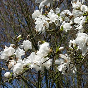 Magnolia kobus – Fehér liliomfa (szabadgyökerű)