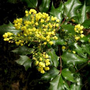 Mahonia aquifolium – Kerti  mahónia (szabadgyökerű)
