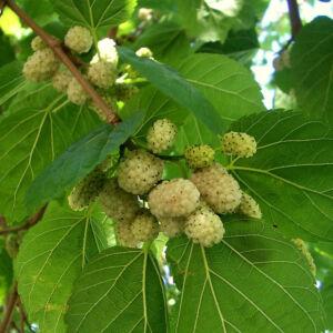 Morus alba – Fehér eperfa (szabadgyökerű)