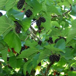 Morus nigra – Fekete eperfa (szabadgyökerű)