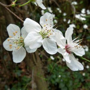 Prunus avium – Vadcseresznye (szabadgyökerű)