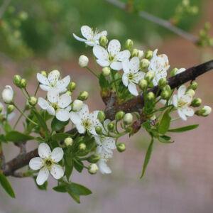 Prunus mahaleb – Sajmeggy (szabadgyökerű)