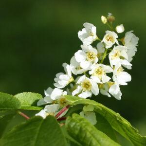 Prunus padus – Zelnicemeggy (szabadgyökerű)
