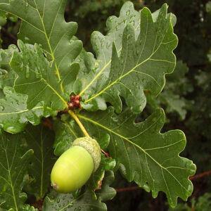 Quercus robur – Kocsányos tölgy (szabadgyökerű)