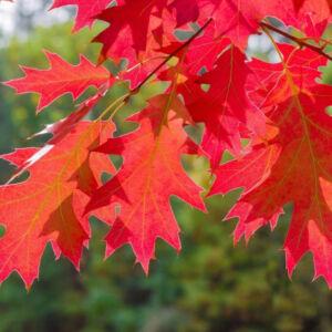 Quercus rubra – Vörös tölgy (szabadgyökerű)