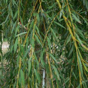 Salix alba 'Ttristis' – Szomorúfűz (szabadgyökerű)
