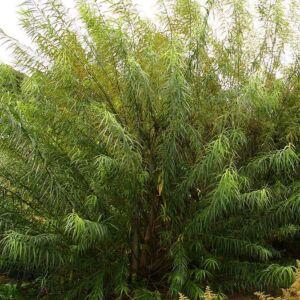 Salix viminalis – Kosárkötő fűz (szabadgyökerű)