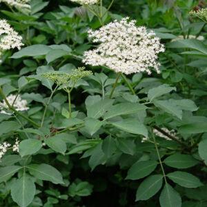 Sambucus nigra – Fekete bodza (szabadgyökerű)