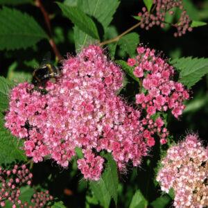 Spiraea bumalda – Gyöngyvessző
