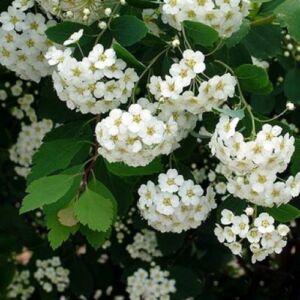 Spiraea vanhouttei – Közönséges gyöngyvessző (szabadgyökerű)