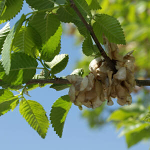 Ulmus pumila – Turkesztáni szil (szabadgyökerű)