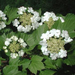 Viburnum opulus – Kányabangita (szabadgyökerű)