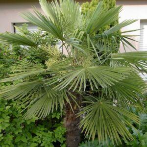 Trachycarpus fortunei - Kínai kenderpálma