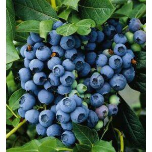 Vaccinium corymbosum 'Bluecrop' - Magasbokrú kék áfonya