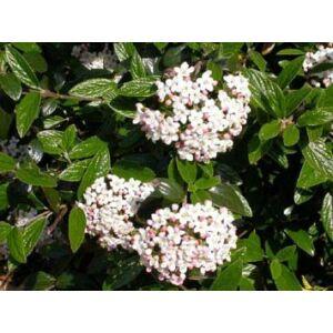 Viburnum x burkwoodii - Tavaszi bangita