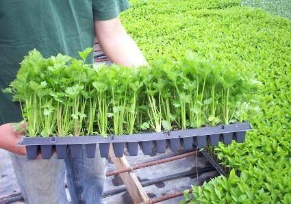 Zeller palánta rendelés a Megyeri kertészetből!