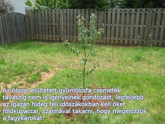 Beültetett gyümölcsfa csemete