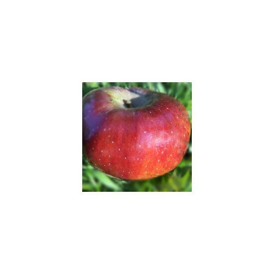 'Fekete tányér' régi almafajta