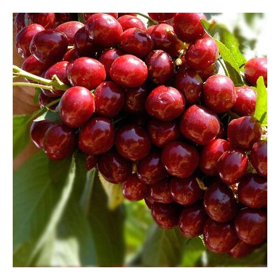 'Lapins' cseresznye
