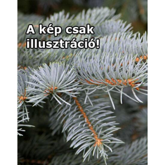 Picea pungens 'Dános' – Ezüstfenyő