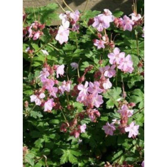 Geranium macrorrhizum 'Ingwersen's Variety' - Illatos gólyaorr (világos rózsaszín)