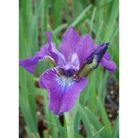Iris sibirica 'Hubbard' - Ibolyakék szibériai nőszirom