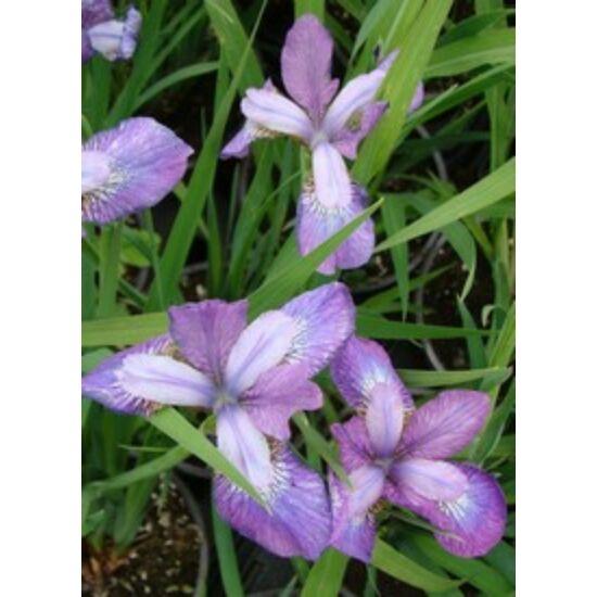 Iris sibirica 'Illini Charm' - Lilás rózsaszín szibériai nőszirom