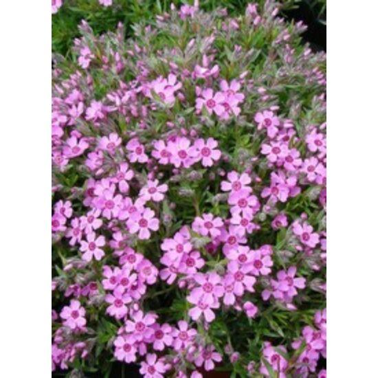 Phlox subulata 'Zwergenteppich' - Árlevelű lángvirág (rózsaszín)