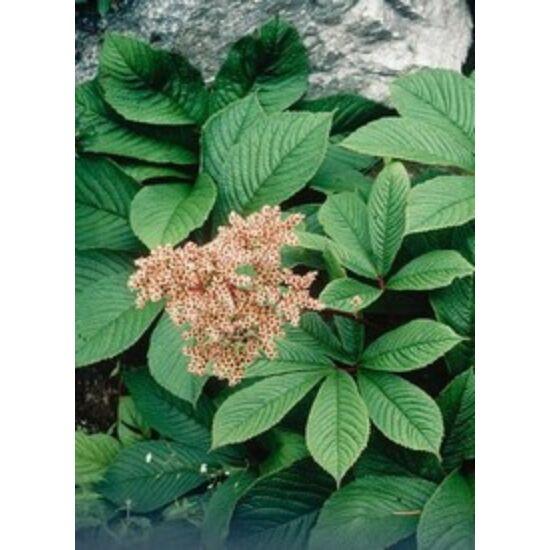 Rodgersia pinnata - Tenyeres tópartifű