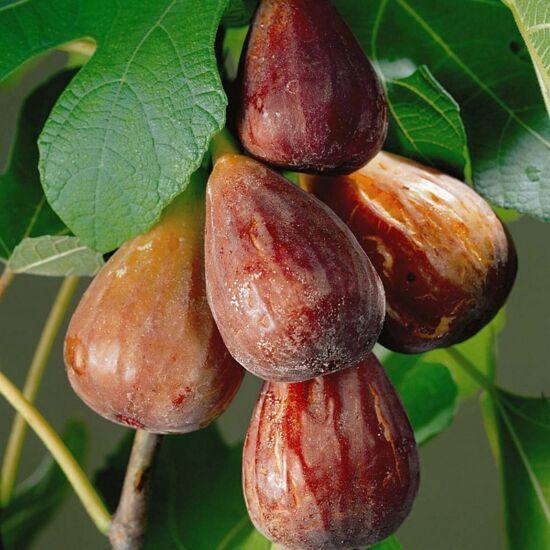 Ficus carica 'Brown Turkey' - Füge