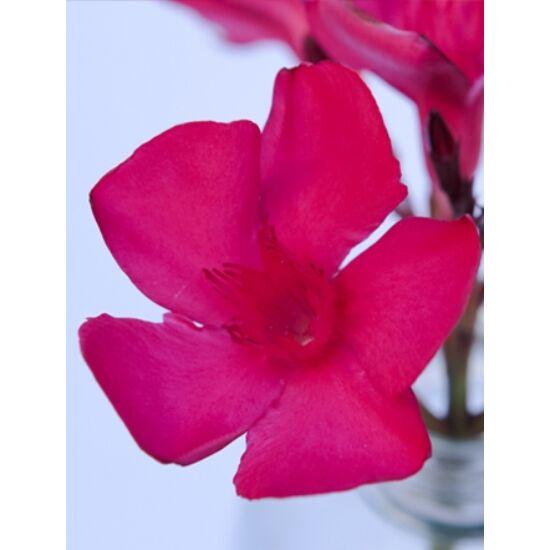 Nerium oleander - Sötét ciklámen, nagyvirágú leander