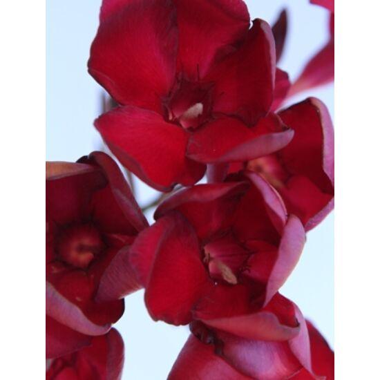 Nerium oleander - Bársonyos mélybordó virágú leander