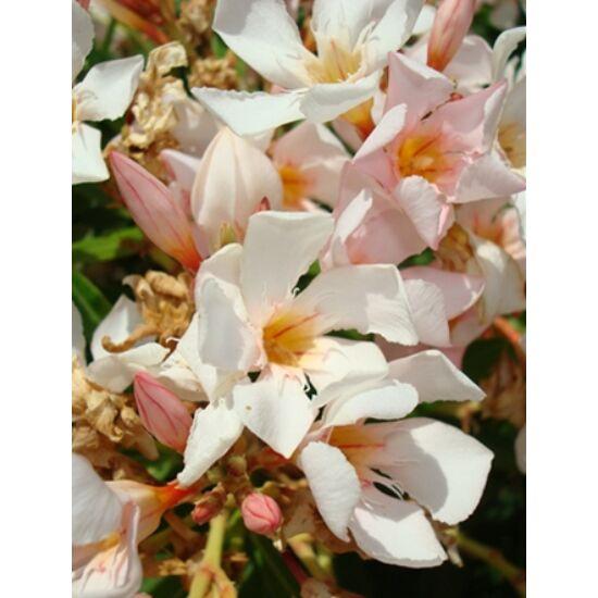 Nerium oleander - Mini, mandulaszínű leander